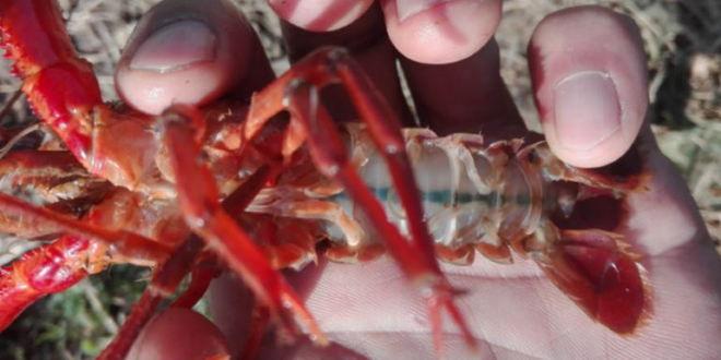 小龙虾养殖未来八大机遇,机会难得,再不抓紧就晚了!