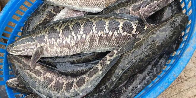 惨惨惨!20多年未见的超低价!黑鱼的价格真的要垮了吗?