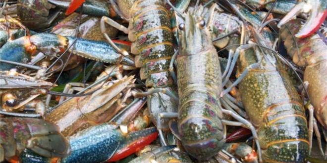 不断逼近爆发拐点―红螯螯虾产业发展未来可期