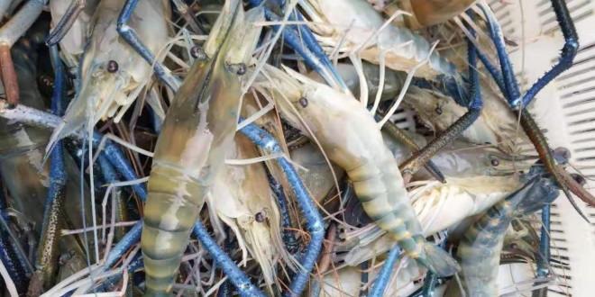 罗氏沼虾紧俏,价格全线上涨,今年这条虾你看好吗?