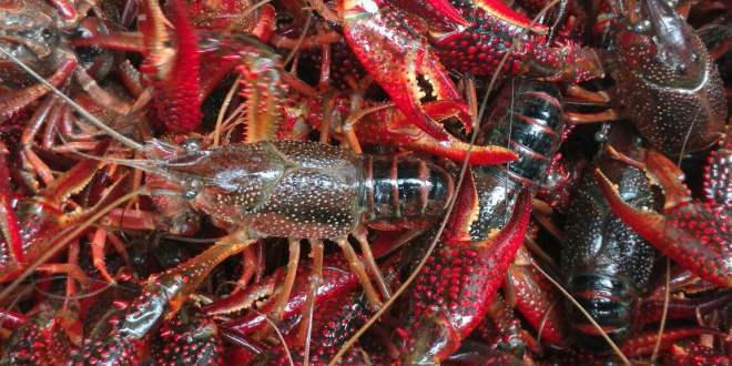 小龙虾养殖面积不断扩大,虾农如何在未来的市场立足?