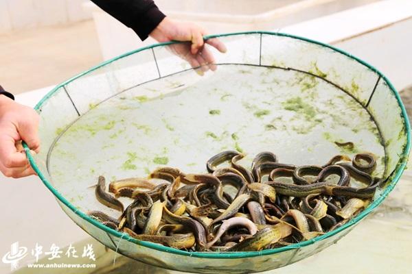 """安徽阜阳:特色水产养殖 让渔民鼓起""""钱袋子"""""""