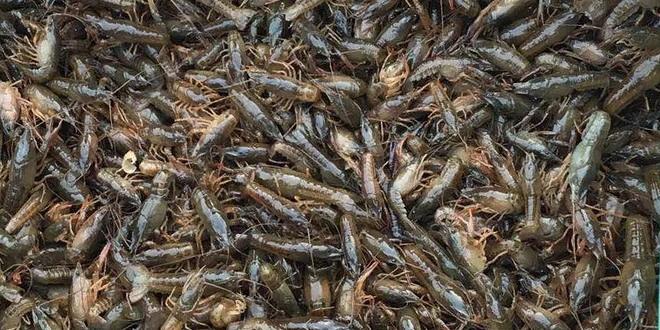 成品龙虾价格变化如股市,虾苗价格波动如过山车,老司机都很难扛得住!