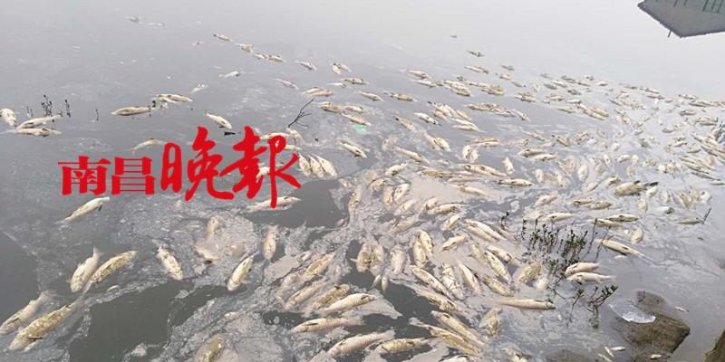 2万多斤鱼突然离奇死亡,养殖户损失10多万,事发江西南昌