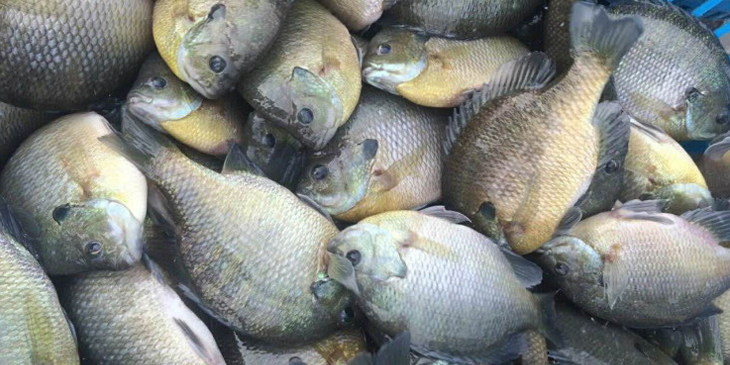 """试看""""喜记水产""""是怎么引领太阳鱼产业发展的?"""