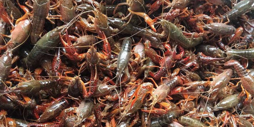 虾价崩盘?小龙虾养殖户恐慌了?专家:5月本来就是最低点