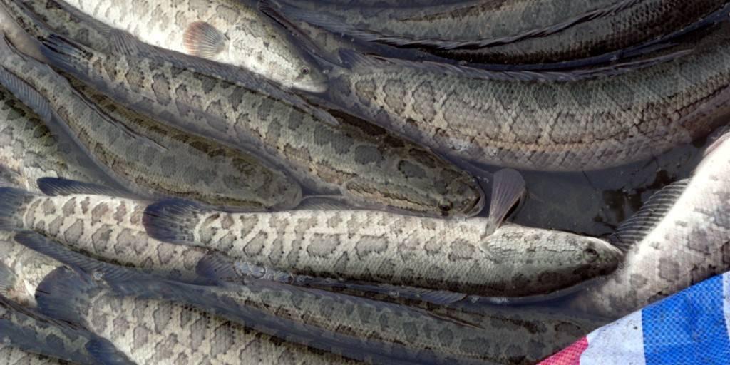 黑鱼养殖户的无奈:这批鱼不亏就满足了!有的苗场也暂时停产!
