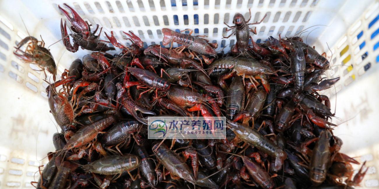 小龙虾价格跌到谷底?一夜回到解放前?很多养殖户滴血甩卖!明年还能继续养吗?