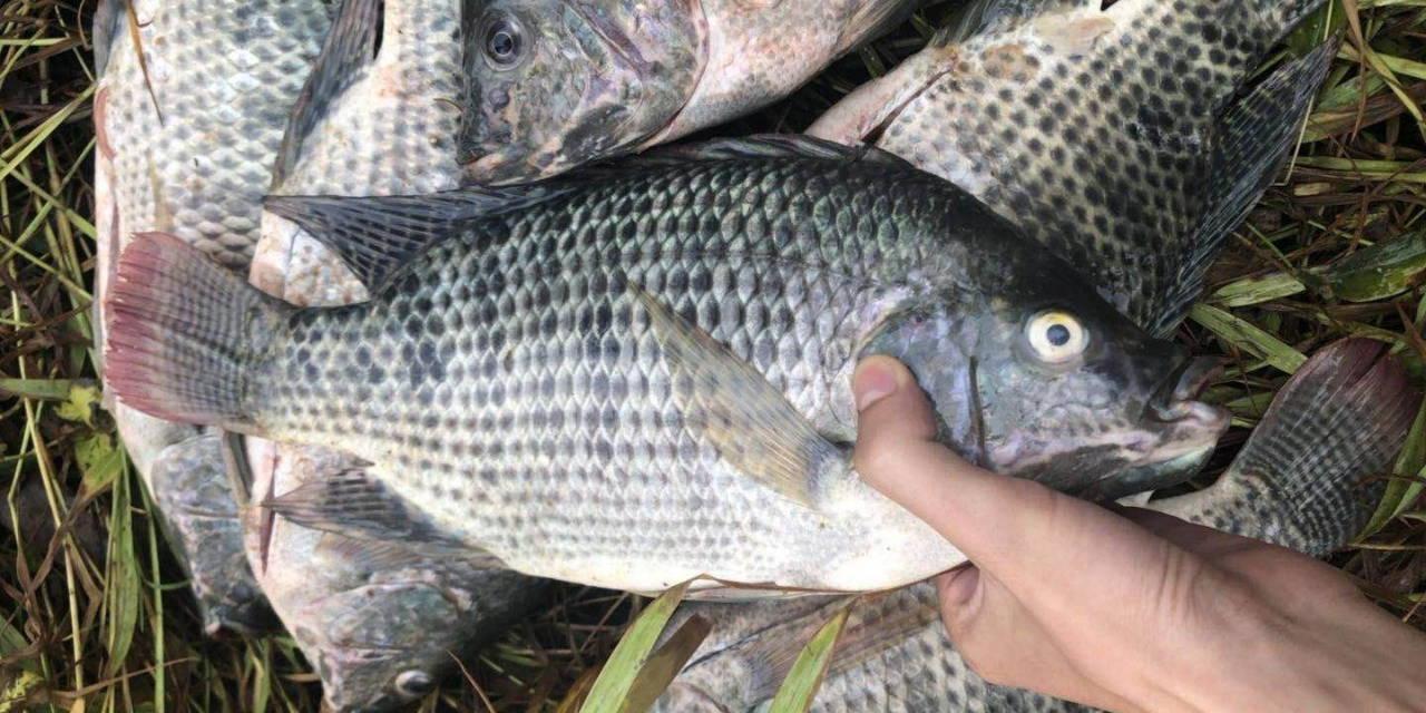 贸易战升级,北京快3走势图加工厂订单减少,罗非鱼价格却略涨,这条鱼你还会坚守吗?
