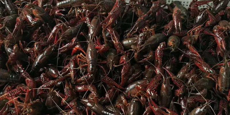 没有永远赚钱的行业,未来的小龙虾养殖业要何去何从?