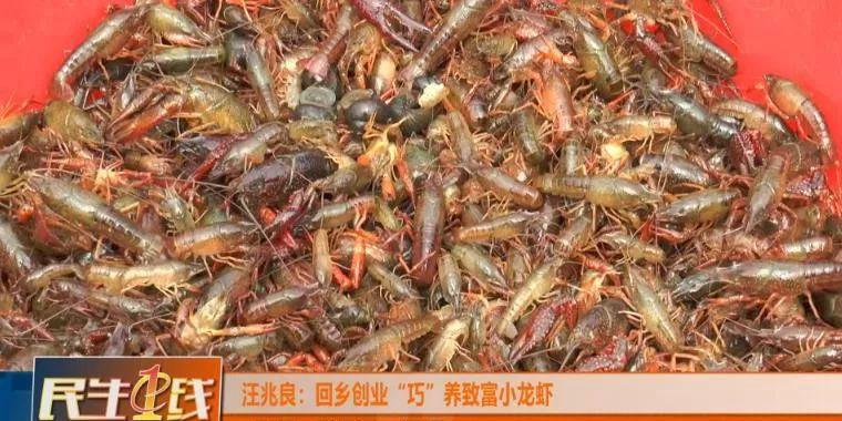 """湖北孝感孝昌汪兆良:回乡创业""""巧""""养致富小龙虾!"""