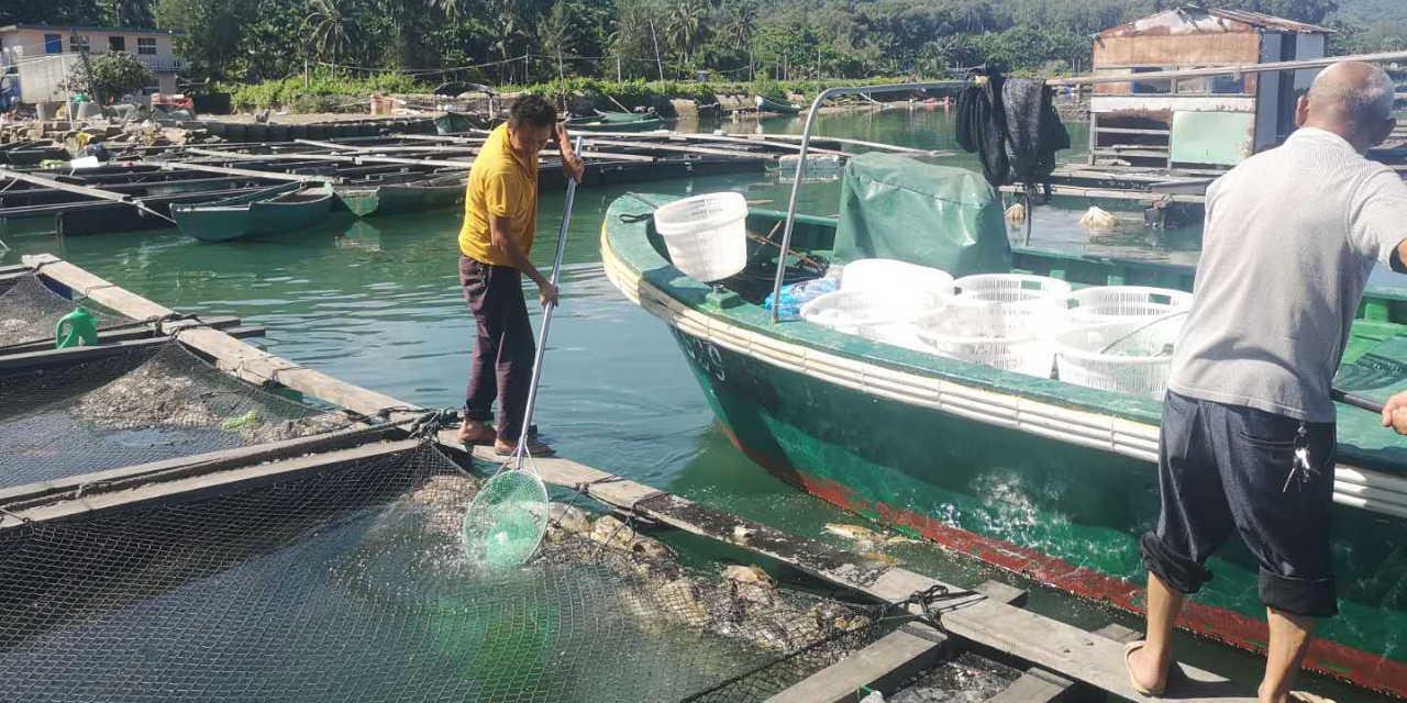 海南万宁老爷海区域死鱼原因初步查清:系鱼体养殖密度过高和天气原因导致