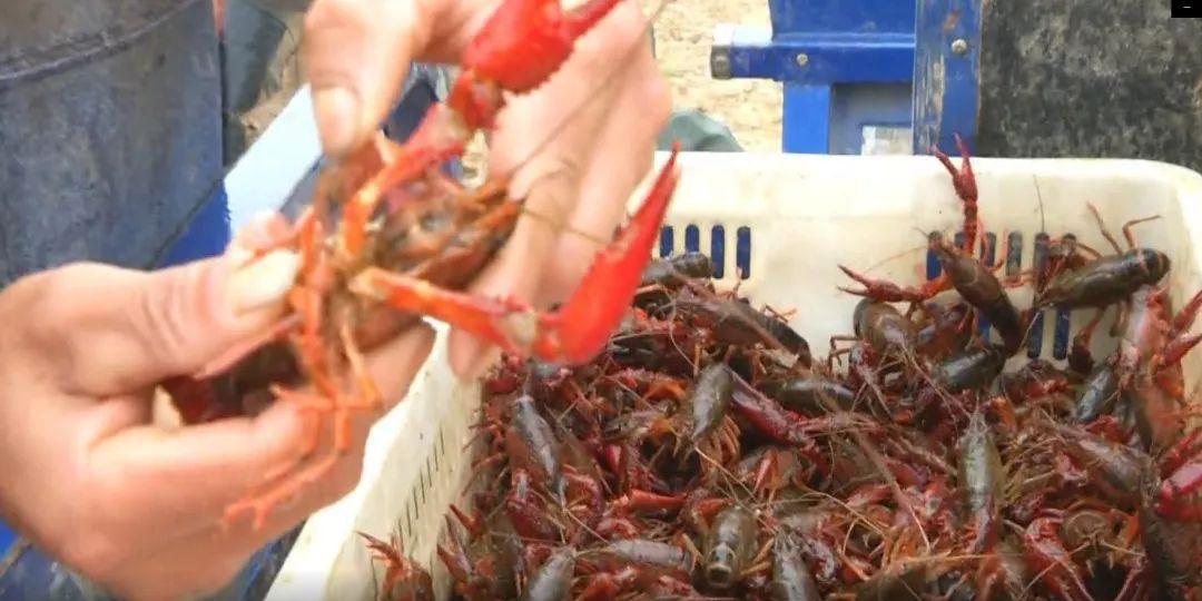 小龙虾价格一跌再跌,小龙虾养殖户赚钱难!后期价格走向如何?