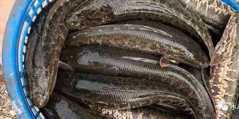 跌到历史最惨后,黑鱼总算走出低迷,但今年想要咸鱼翻身还是非常难