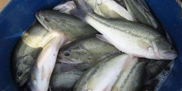 加州鲈鱼价格一涨再涨,但很多人只能眼红,因为存塘量太少了!