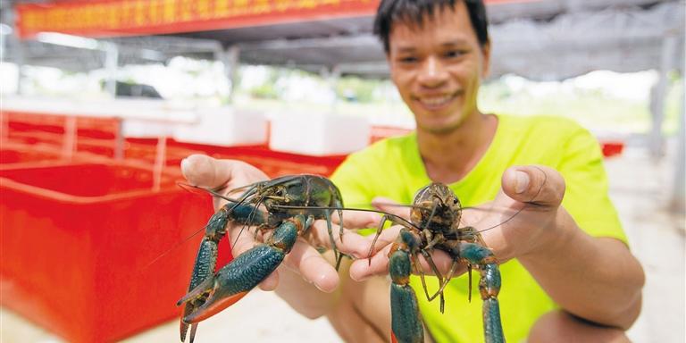 """海南陵水光坡镇大力发展高效水产养殖产业 淡水龙虾""""游""""出脱贫路"""