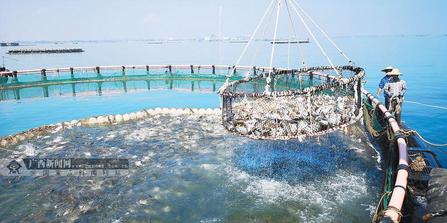 """""""蓝色粮仓""""向深海延伸 广西北海市深水网箱养殖探访"""