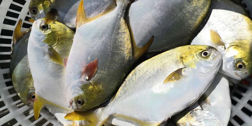 紧急预警! 小瓜虫来袭,今年投苗增40%,金鲳鱼养殖户得抓紧出鱼