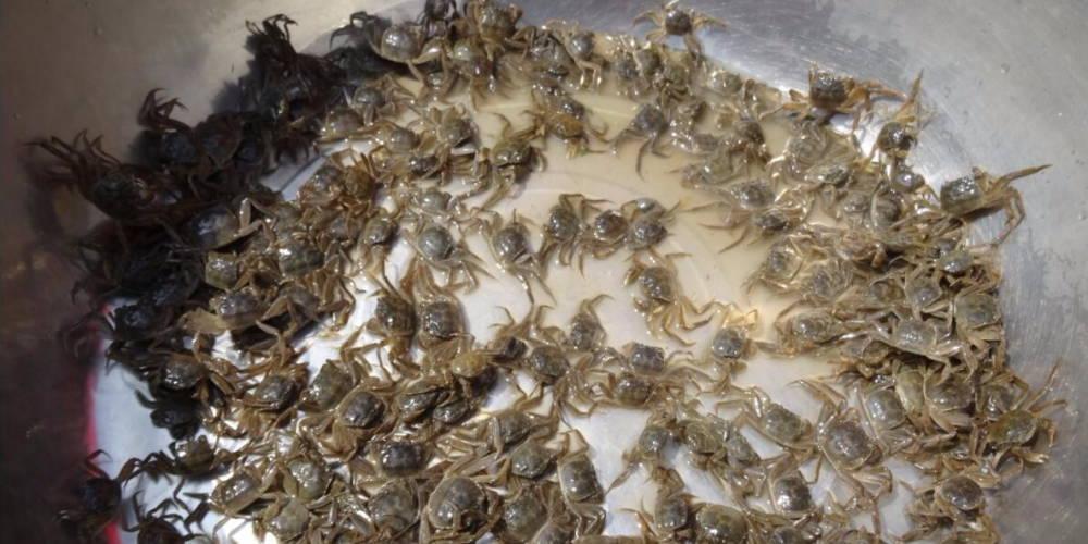 江苏省河蟹产业技术体系特大规格河蟹新品种亲本一龄蟹种观摩展示会在兴化举行