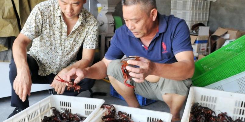 贵州铜仁江口县远腾水产养殖公司龙虾喜获丰收