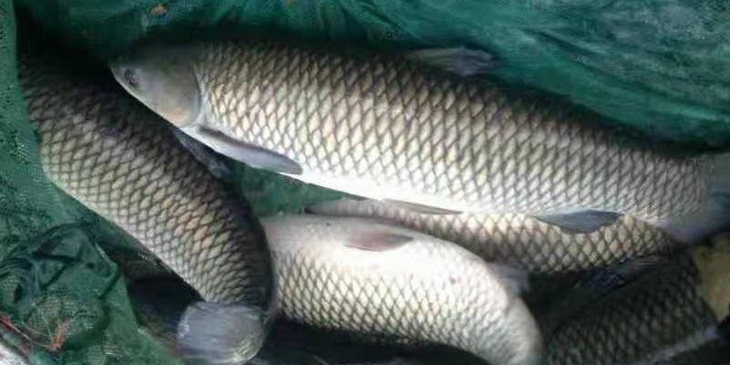 全国鱼价这里一枝独秀!中秋节前常规鱼销量很大,但价格总体不算好!