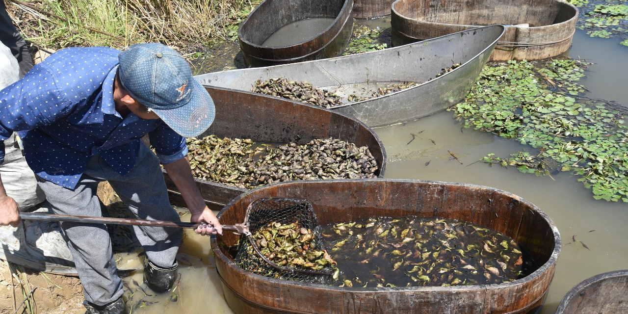 从养鱼到种菱的产业转型―江西九江湖口县流芳乡添字家庭农场迎来红菱丰收季