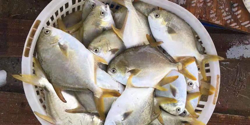 稳!金鲳鱼价格小幅回落0.5元/斤,养殖户热情仍高涨!