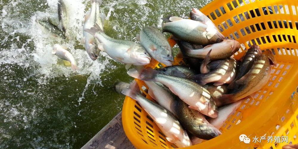 鱼价连续下滑,养殖户仍有利可图!但明年养加州鲈鱼的风险将会更大!