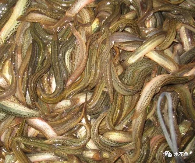 泥鳅养殖中的误区与陷阱:商机伴