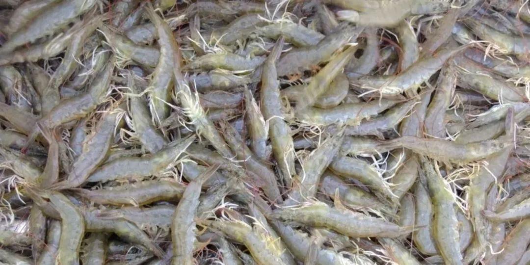 如东小棚虾养殖户集中卖虾,冲击市场价格!月底对虾市场或有转机,等不等?