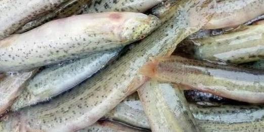 泥鳅养殖中的误区与陷阱:商机伴随的往往是危机!