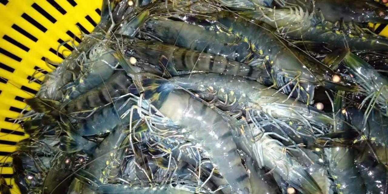 年度大总结丨80%的成功率!斑节对虾以80元/斤的好价格,成虾农新寄托!