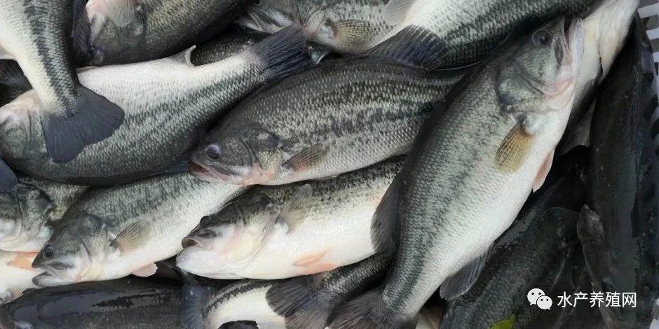 成鱼价格持续上涨,养殖户抢苗厉害!今年又是加州鲈大牛市?