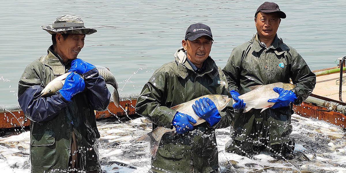中国源色股份国际控股集团水产养殖基地的渔民正抓紧起鱼