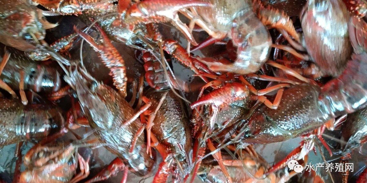 有人1斤卖30多,有人只卖几块钱!小龙虾转型之路怎么走?