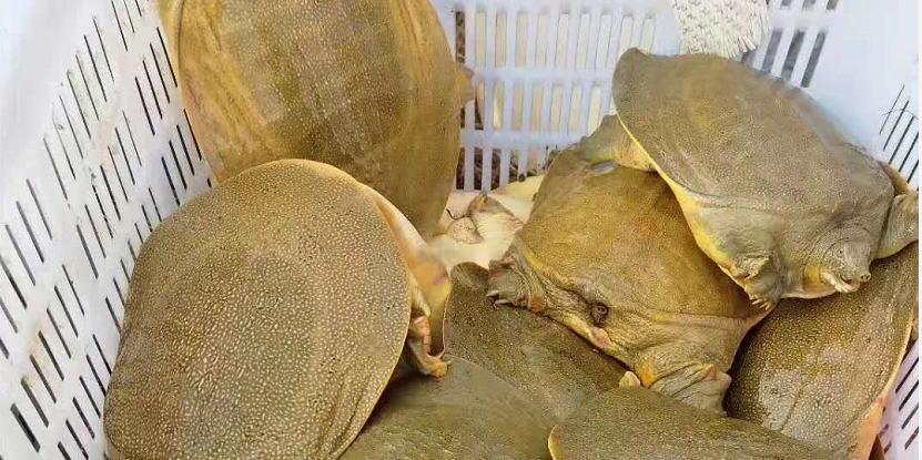 疫情影响,很多市场管得严了,甲鱼生意受影响,销量价格略有下滑!