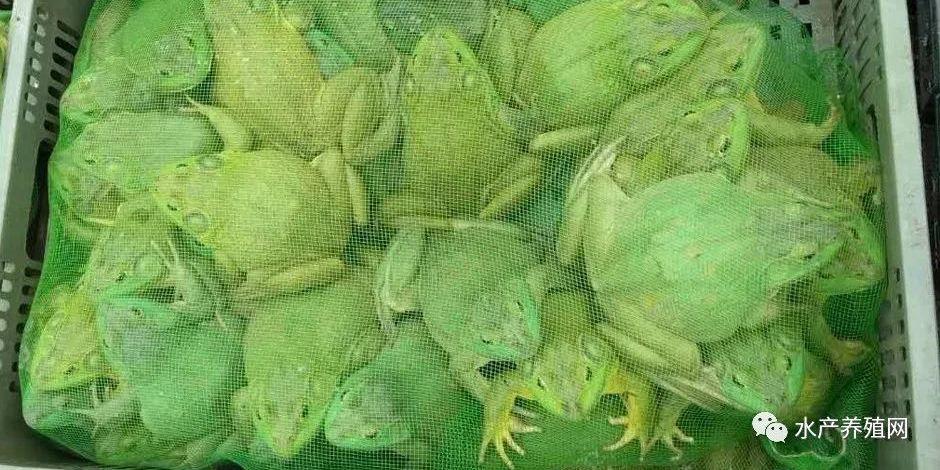 过山车来了,牛蛙降价刹不住!新牛蛙上市量继续增加,中小蛙价格狂跌