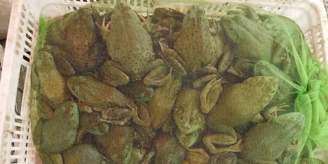 之前牛蛙价格跌惨了,这两天终于涨价了!这次涨价能持续多久?