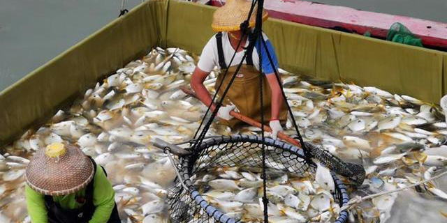 广西防城港市防城区金鲳鱼养殖丰收了