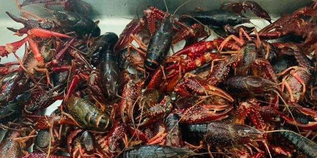 江苏连云港:小龙虾提前半个月上市,市民可尝鲜了