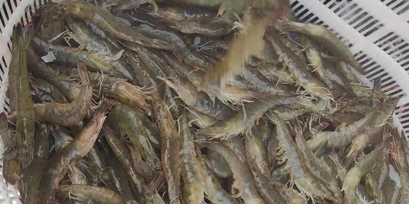 内陆养对虾最有潜力,亩产1000斤肯定发大财?已有人先行一步!