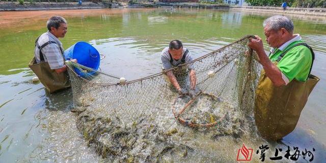 """广东梅州梅县区丙村镇的小小黄骨鱼,成了他们的致富""""金娃娃"""""""