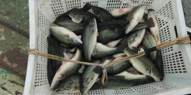 河北邢台信都区:加州鲈鱼养殖喜获丰收 渔民笑开颜