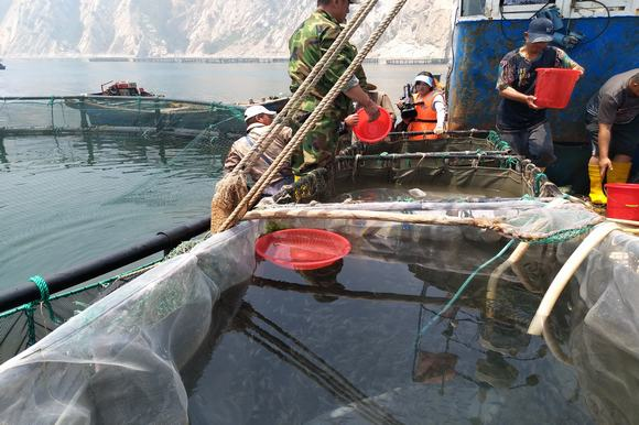 山东烟台市长岛县大钦岛乡首次引进人工繁育黑鱼苗破解网箱养鱼困境